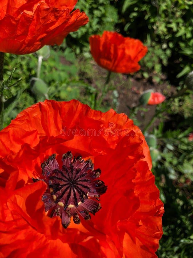 Amapola anaranjada y púrpura en jardín de flores imágenes de archivo libres de regalías