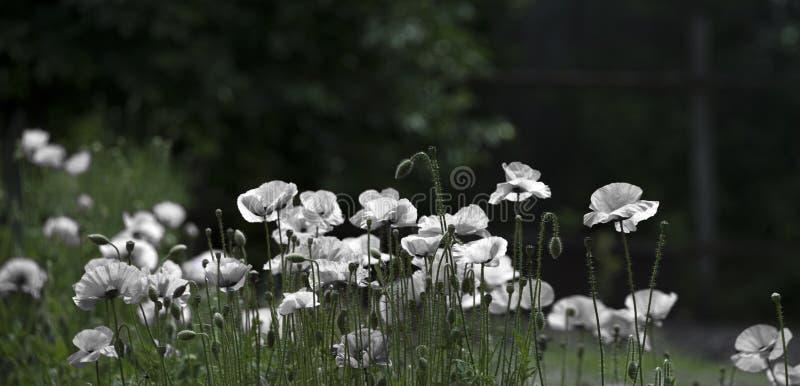 Amapola blanca, panorama Color blanco de la selección, creación apacible fotos de archivo libres de regalías