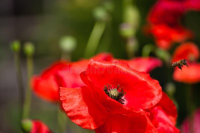 Amapola cercana para arriba con una abeja imagen de archivo libre de regalías