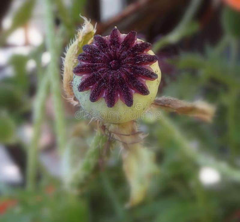Amapola de jardín imagen de archivo libre de regalías