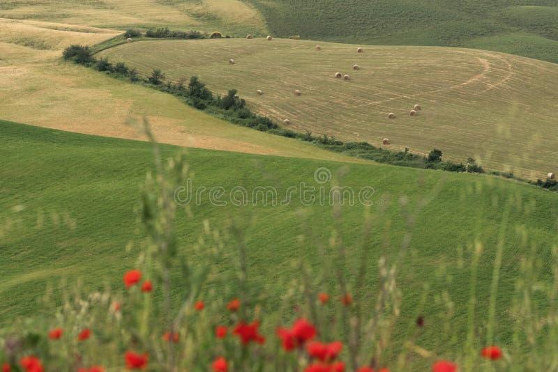 Amapola de maíz borrosa delante de las balas de heno en los paisajes de Toscana foto de archivo
