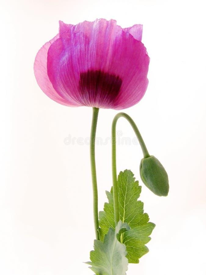 Amapola de opio foto de archivo