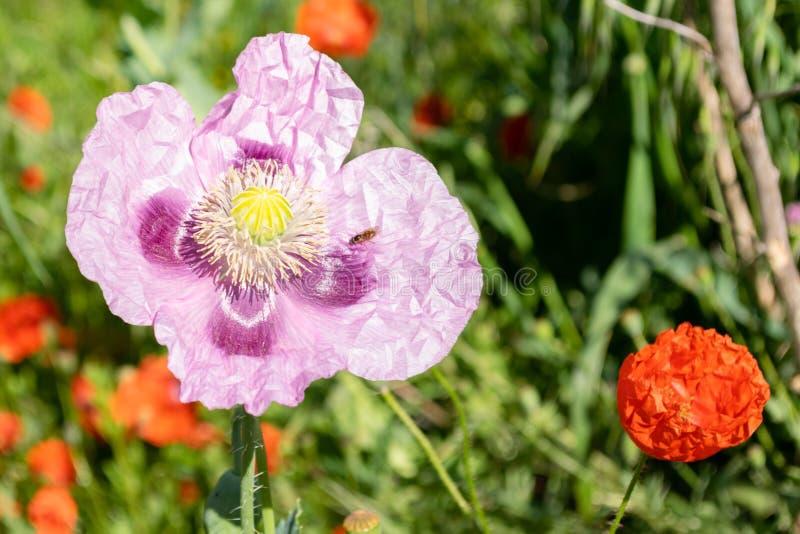 Amapola de opio fotografía de archivo libre de regalías