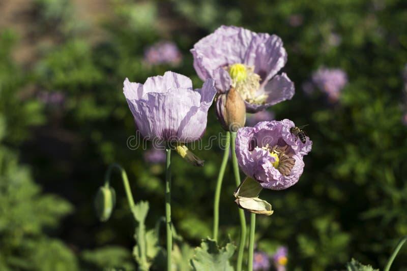 Amapola de opio, flores p?rpuras de la flor de la amapola en un campo Papaver - somniferum Las abejas vuelan y polinizan las flor foto de archivo libre de regalías