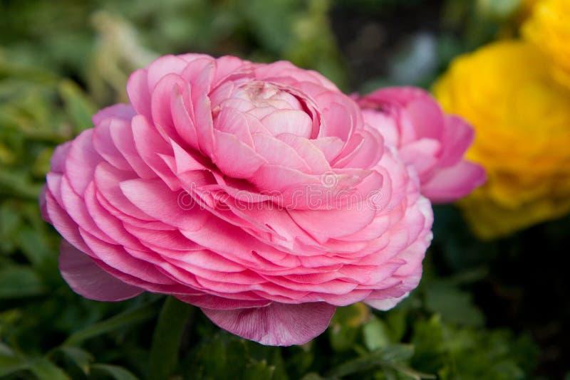 Amapola del color de rosa en colores pastel imagen de archivo