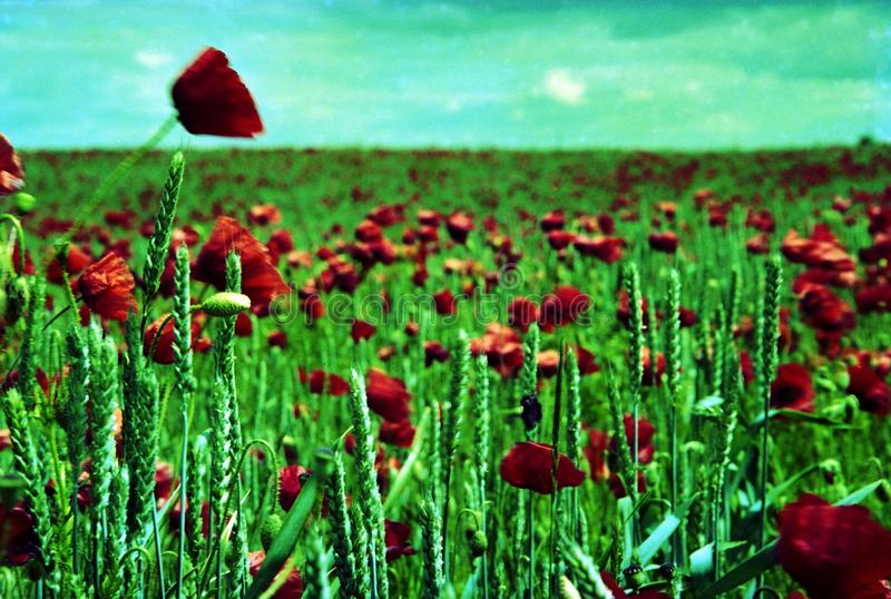 Amapola floreciente con las hojas verdes, naturaleza natural de vida de la flor imágenes de archivo libres de regalías
