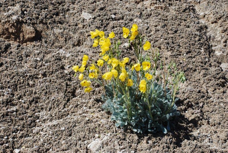 Amapola floreciente del oso (californica de Arctomecon) que crece en suelo microbiotic cerca del lago Mead, Nevada fotos de archivo