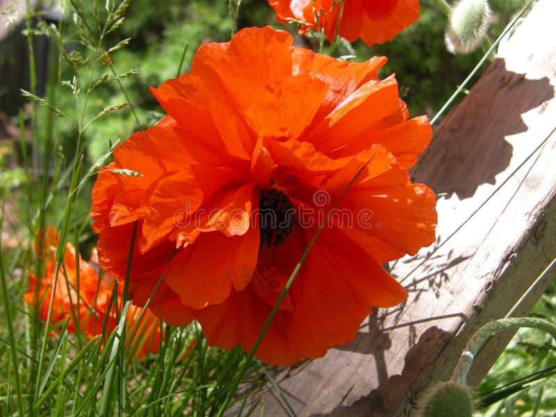 Amapola oriental anaranjada imágenes de archivo libres de regalías