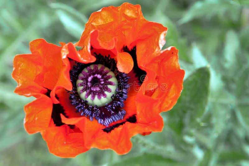Amapola oriental en la floración fotografía de archivo libre de regalías