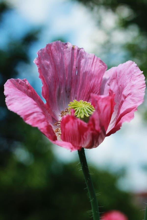 Amapola oriental en mi jardín fotos de archivo