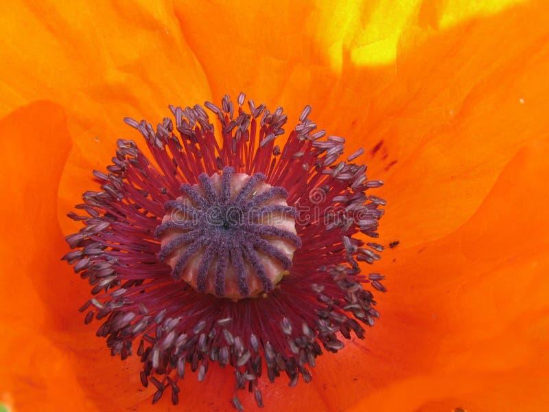 Amapola roja. fotografía de archivo