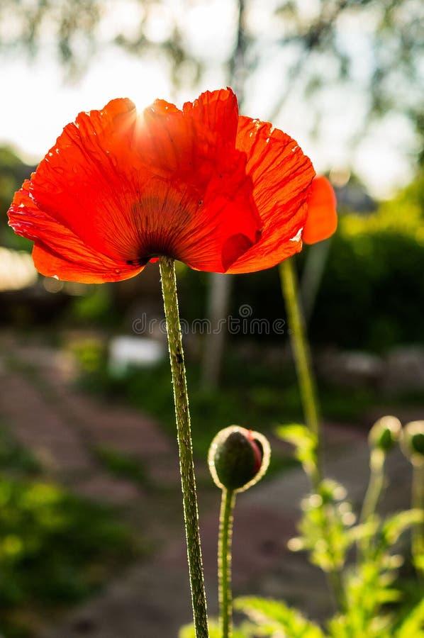 Amapola roja fotografía de archivo
