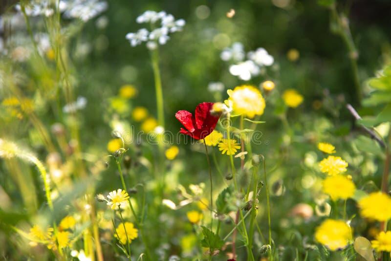 Amapola roja en un prado de la primavera fotografía de archivo libre de regalías
