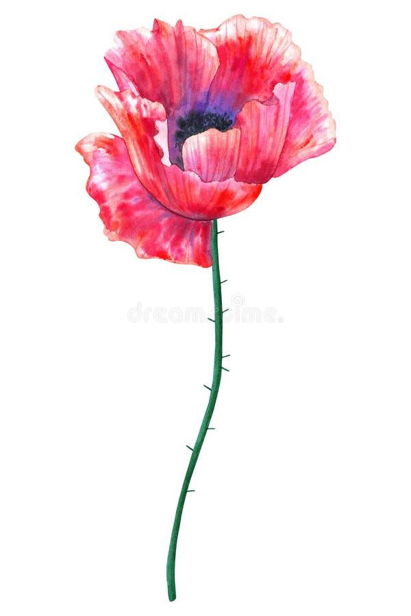 Amapola roja hermosa de la flor Ejemplo dibujado mano de la acuarela Aislado en el fondo blanco libre illustration