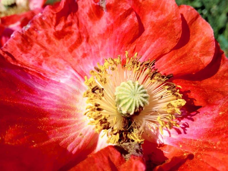 Amapola roja por macroplan imagen de archivo