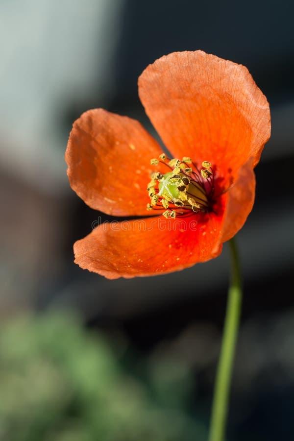 Amapola roja que se abre en el sol fotos de archivo libres de regalías