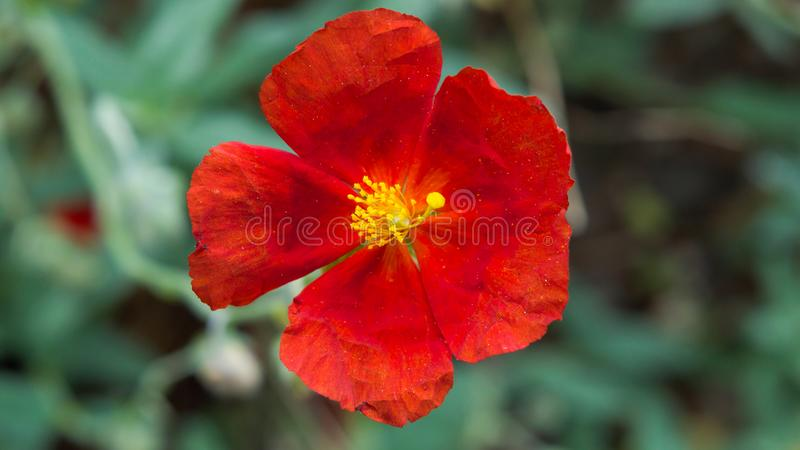 Amapola roja viva hermosa en campo con la profundidad baja del campo y del fondo liso del bokeh imagen de archivo libre de regalías