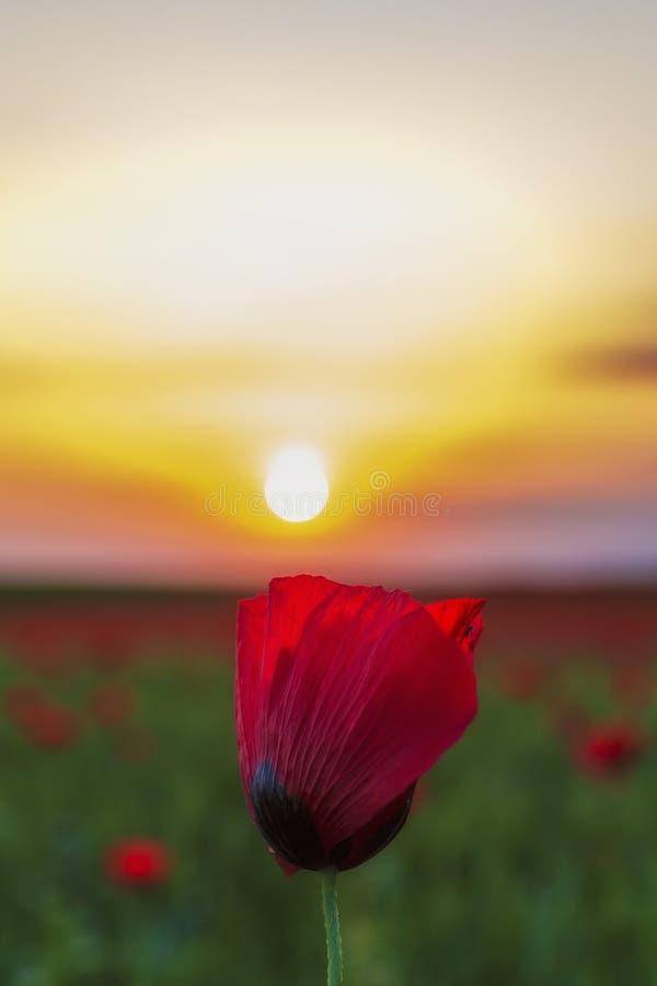 Amapola sola en un campo en la puesta del sol foto de archivo