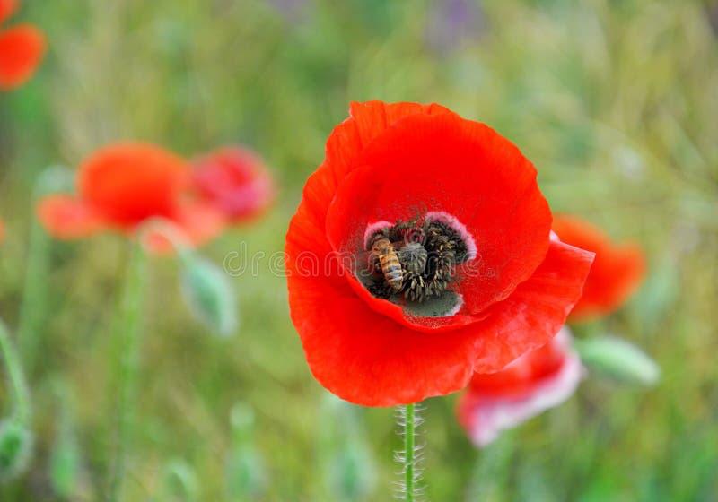 Amapola y abeja rojas en un campo verde en un día soleado Campo de la primavera de amapolas imagen de archivo