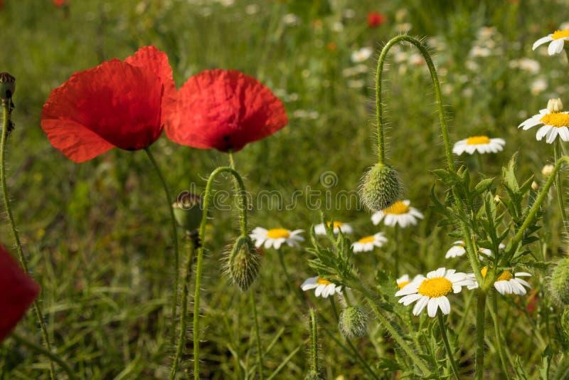 Amapola y margarita rojas en la primavera verde del campo al aire libre fotos de archivo libres de regalías