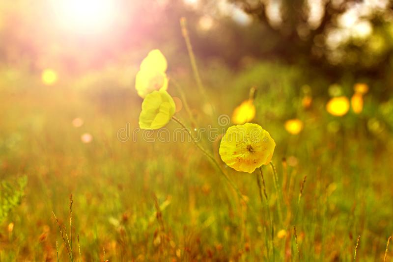 Amapolas amarillas en el prado fotografía de archivo