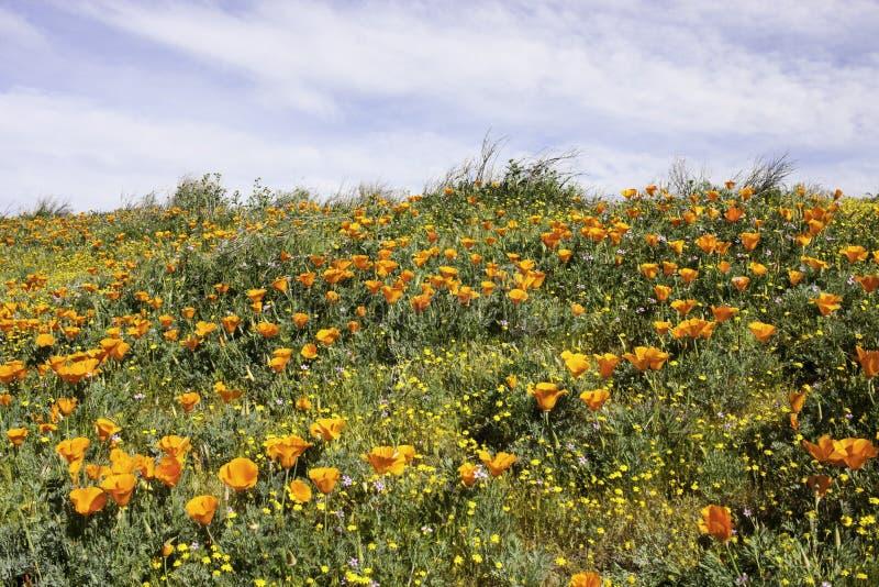 Amapolas anaranjadas en una ladera imagen de archivo libre de regalías