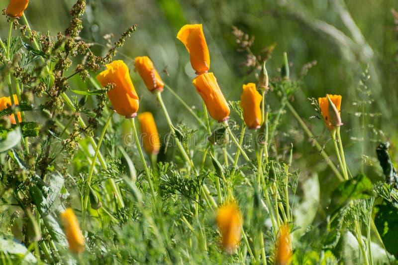 Amapolas anaranjadas iluminadas por el sol brillantemente coloreadas imágenes de archivo libres de regalías