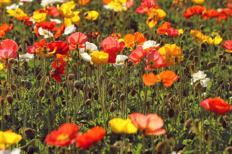 Amapolas coloridas en el jardín imagen de archivo libre de regalías