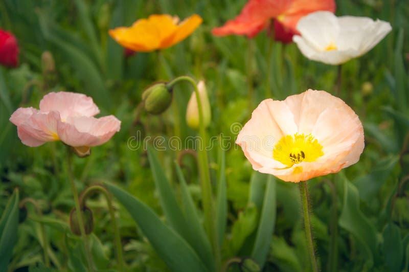 Amapolas coloridas en un campo de flores en Floriade - Canberra fotos de archivo