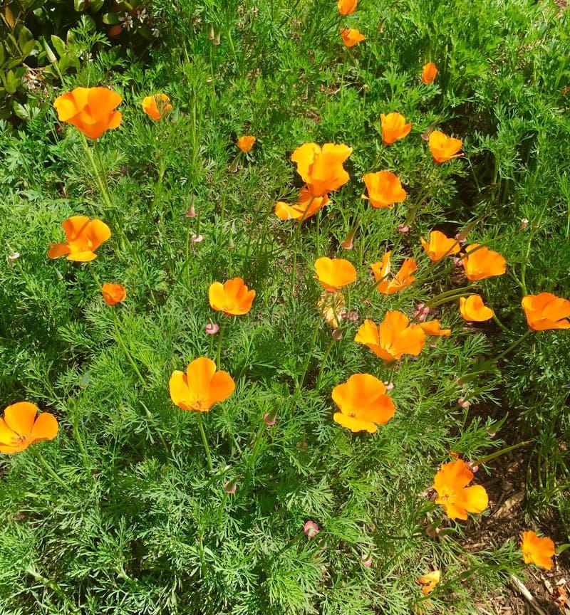 Amapolas de California anaranjadas imagen de archivo libre de regalías