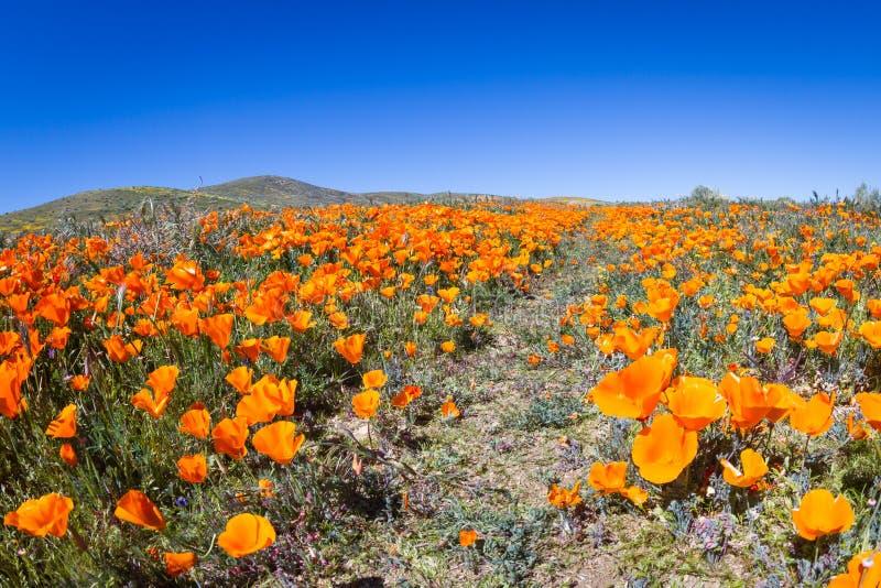 Amapolas de California - californica de Eschscholzia foto de archivo libre de regalías