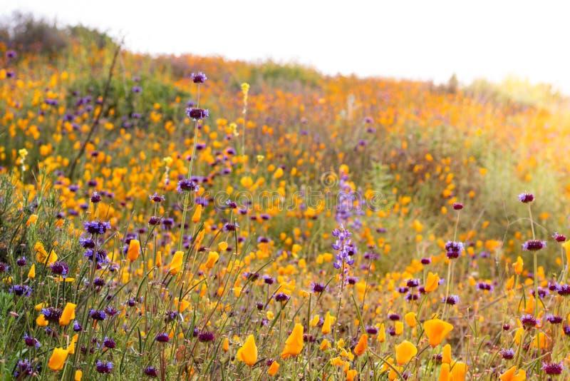 Amapolas de California de oro vivas vibrantes anaranjadas brillantes, wildflowers estacionales de las plantas nativas de la prima fotografía de archivo