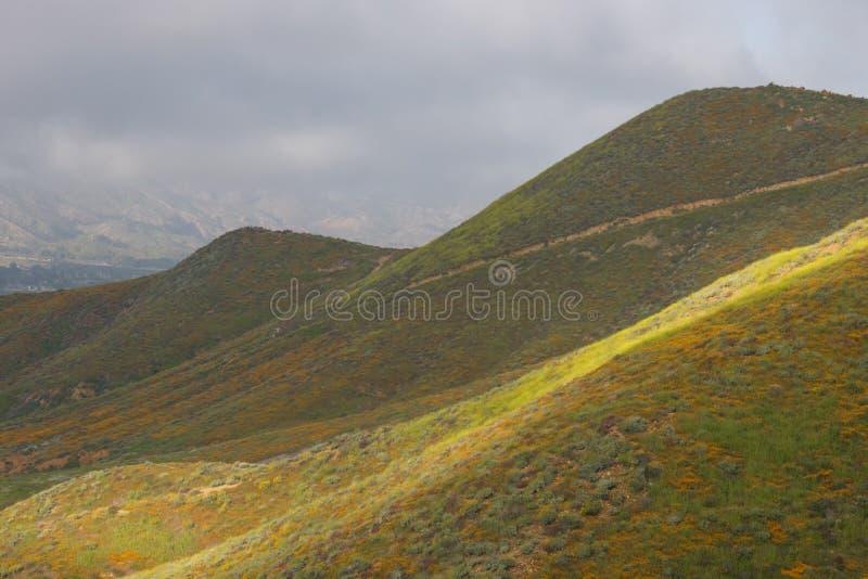 Amapolas de California de oro vivas vibrantes anaranjadas brillantes, wildflowers estacionales de las plantas nativas de la prima foto de archivo libre de regalías