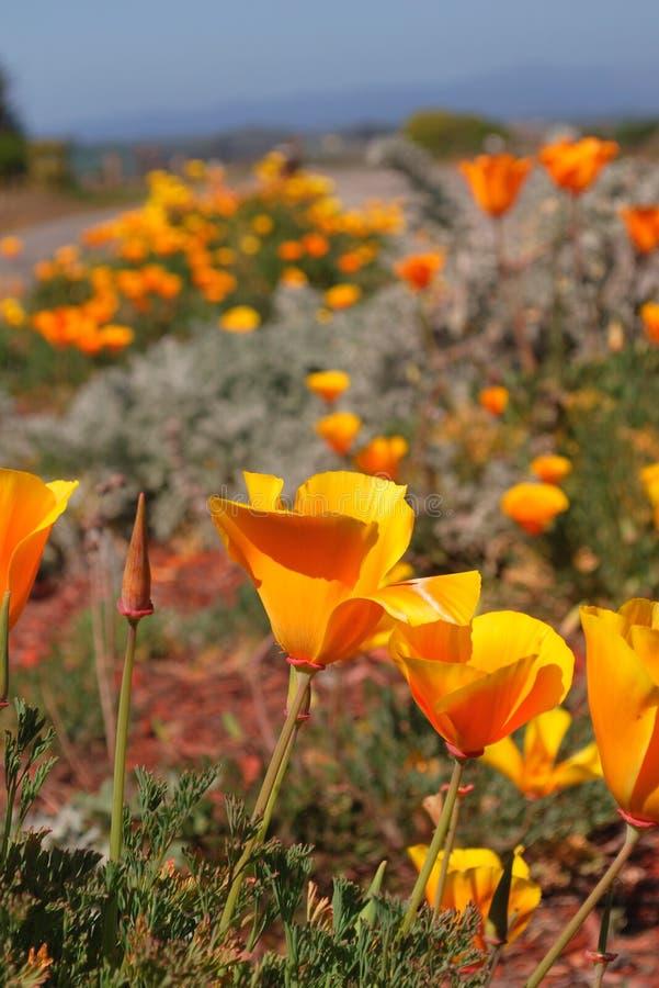 Amapolas de California salvajes, la flor de estado fotografía de archivo