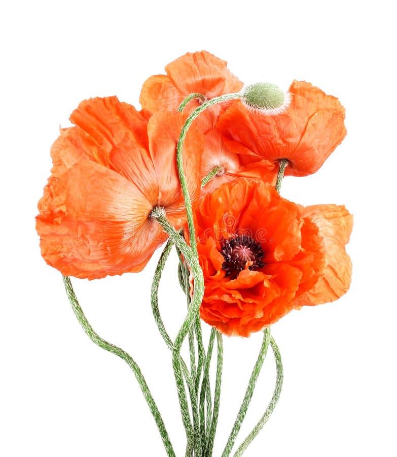 Amapolas de los Wildflowers imágenes de archivo libres de regalías