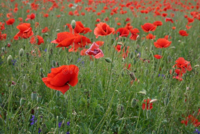 Amapolas del flor en los campos Verano 2018 kiev ucrania fotos de archivo