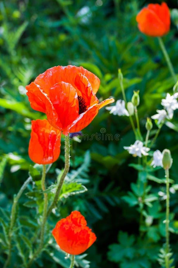 ¡Amapolas del prado de las amapolas! ¡Memoria de la flor! fotos de archivo