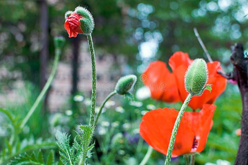 ¡Amapolas del prado de las amapolas! ¡Memoria de la flor! foto de archivo