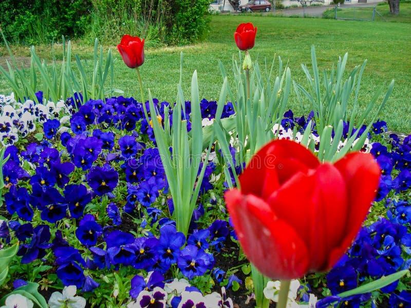 Amapolas en jardín con otras flores púrpuras fotografía de archivo libre de regalías