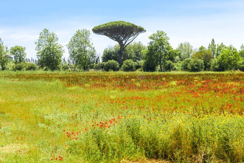 Amapolas en prado con el pino en Toscana imagen de archivo