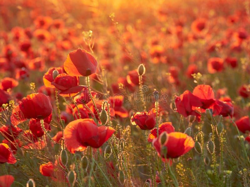 Amapolas florecientes en la luz de la puesta del sol del verano fotografía de archivo