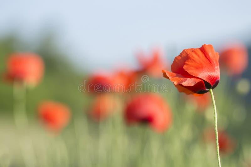 Amapolas hermosas del rojo del fondo del verano fotografía de archivo