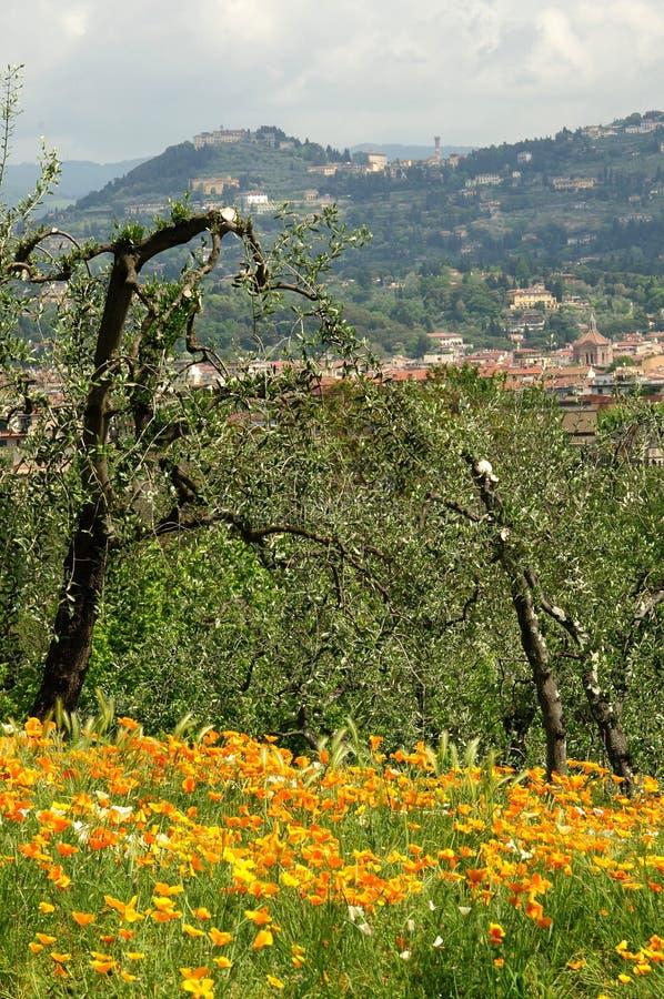 Amapolas mexicanas florecientes del oro en un jardín en Florencia imágenes de archivo libres de regalías