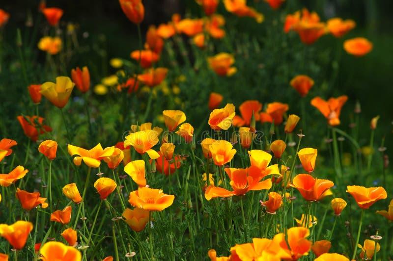 Amapolas mexicanas florecientes del oro en un jardín en Florencia fotos de archivo libres de regalías