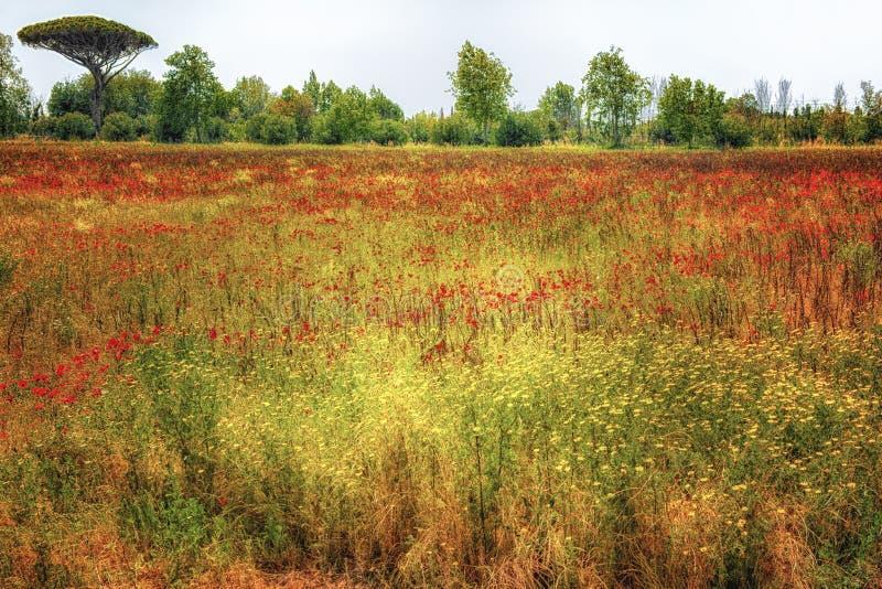 Amapolas, prado, pino, Toscana, Italia fotografía de archivo