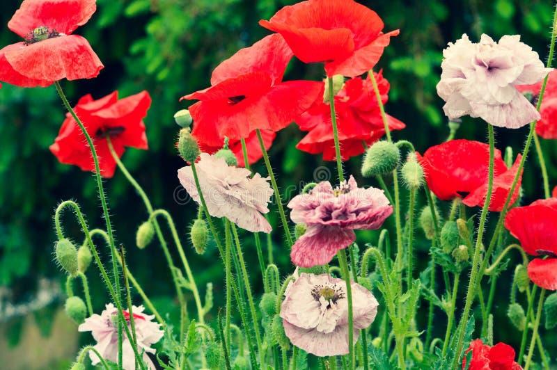Amapolas que florecen en el jard?n imagen de archivo