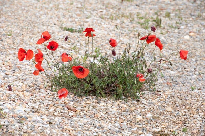 Amapolas que florecen en la trayectoria de piedra foto de archivo libre de regalías