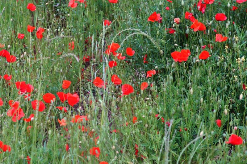 Amapolas rojas brillantes al borde del campo imágenes de archivo libres de regalías