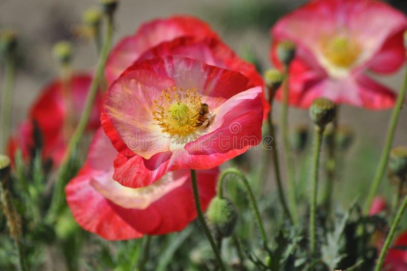 Amapolas rojas brillantes con la abeja imagen de archivo libre de regalías