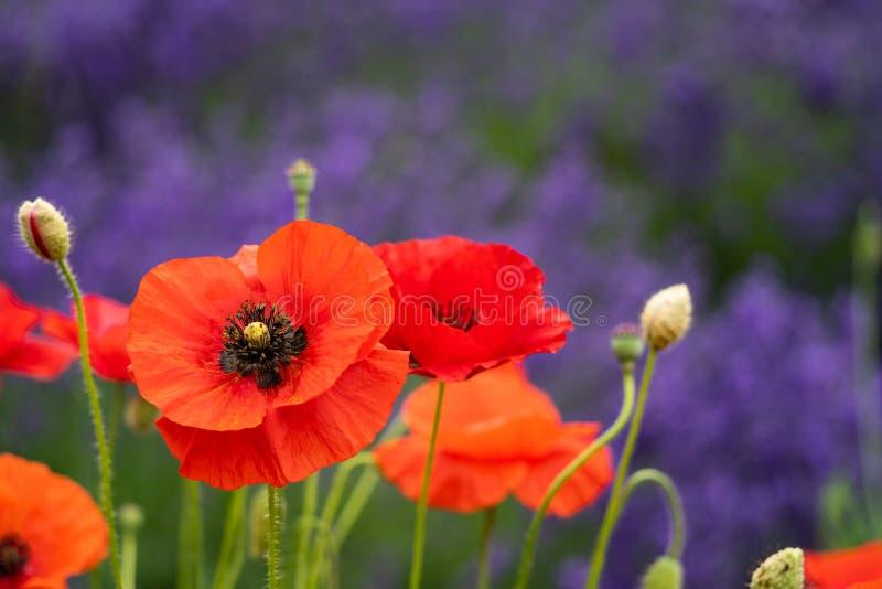 Amapolas rojas brillantes en el primero plano, fondo borroso de las flores de la lavanda Sequim admitido Washington en la penínsu foto de archivo libre de regalías